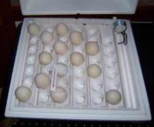 Duck eggs in incubator.