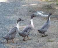 Blue Runner x Magpie ducks