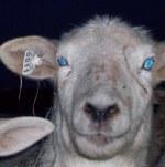 sheeptag