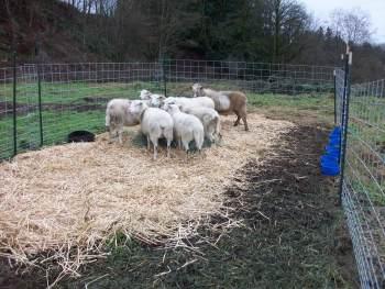 sheepuptop