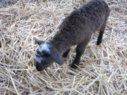 #33's brown ewe lamb