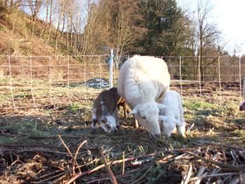 33_lambs