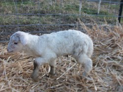 #33's white ewe lamb