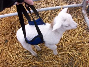 Lamb in sling (when he was tiny!)