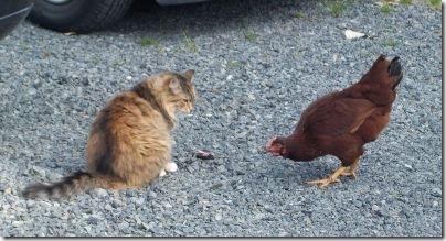 ChickenCat1