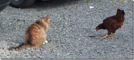 ChickenCat2