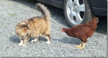 ChickenCat3