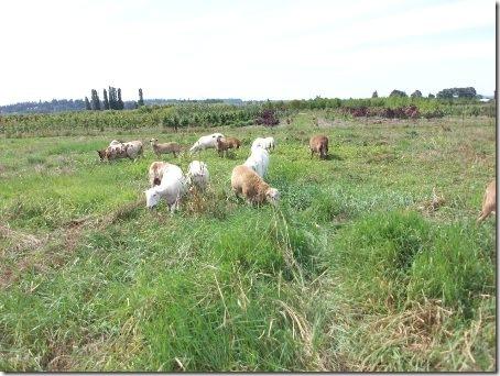 SheepGrazingWithDog