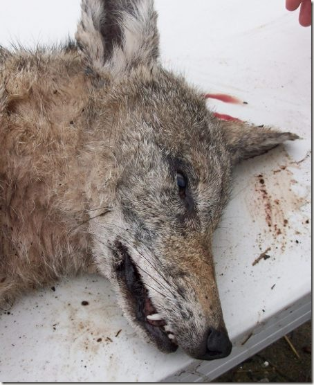 CoyoteFace