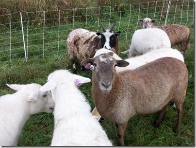 SheepTags