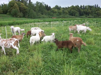 make money farming sheep