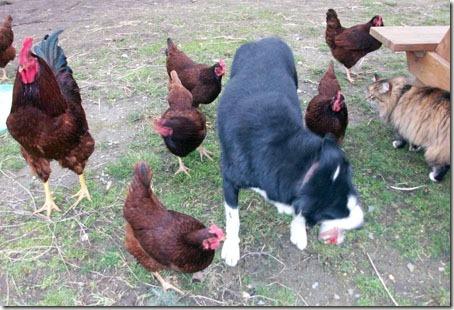 ChickensAndDog