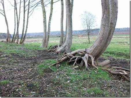 Trees once blackberries were removed- bare soil, much erosion