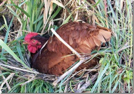 ChickenNesting