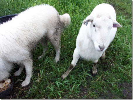about what an appropriate reaction is for a tiny lamb versus a big ram