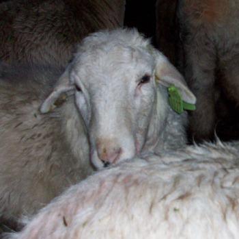Puffy Head II (!)   The Collie Farm Blog