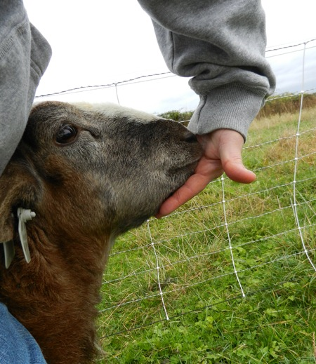 Bottle Jaw and Mineral Imbalances | The Collie Farm Blog