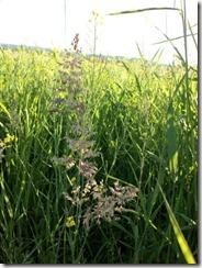 Grasses1`