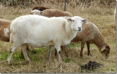 Edgefield sheep