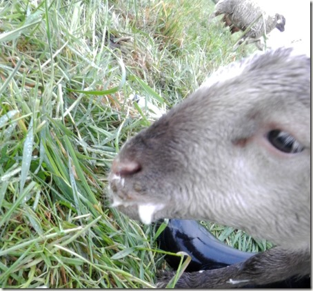Frothy Bloat in Grazing Lambs | The Collie Farm Blog