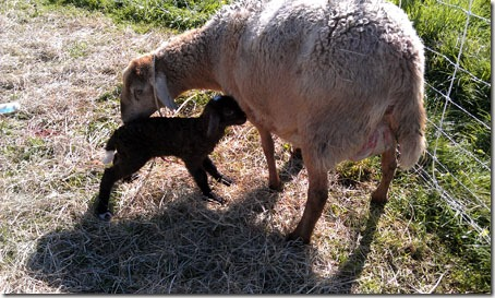 Ewe with nice-sized lamb