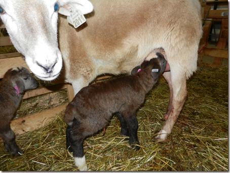 Bobtail lamb