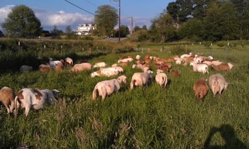Summer Ewes