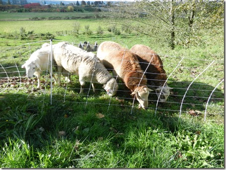 Newly introduced rams relaxing, grazing peacefully together
