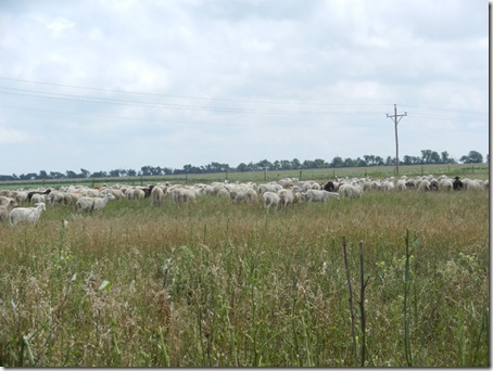 USMARC EasyCare Ewe Flock on pasture