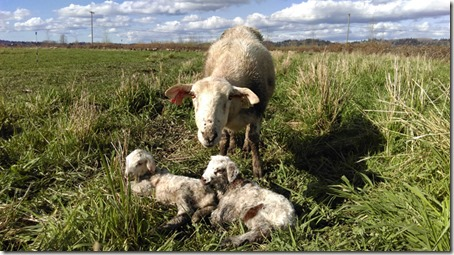 FirstLambs