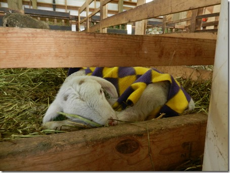 SleepingLamb